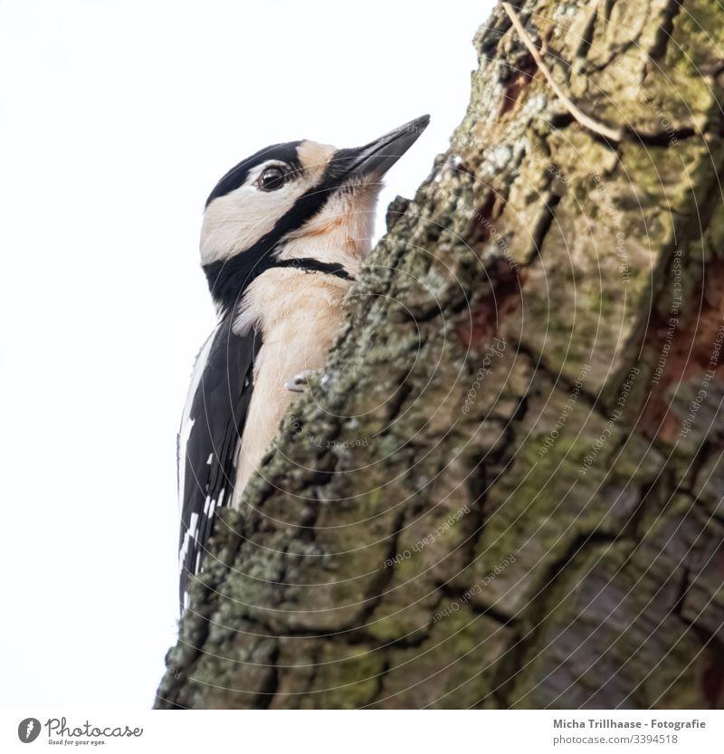 Buntspecht am Baumstamm Specht Dendrocopos major Kopf Schnabel Auge Feder gefiedert Flügel Tiergesicht Vogel Wildtier Nahaufnahme Makroaufnahme hängen Blick