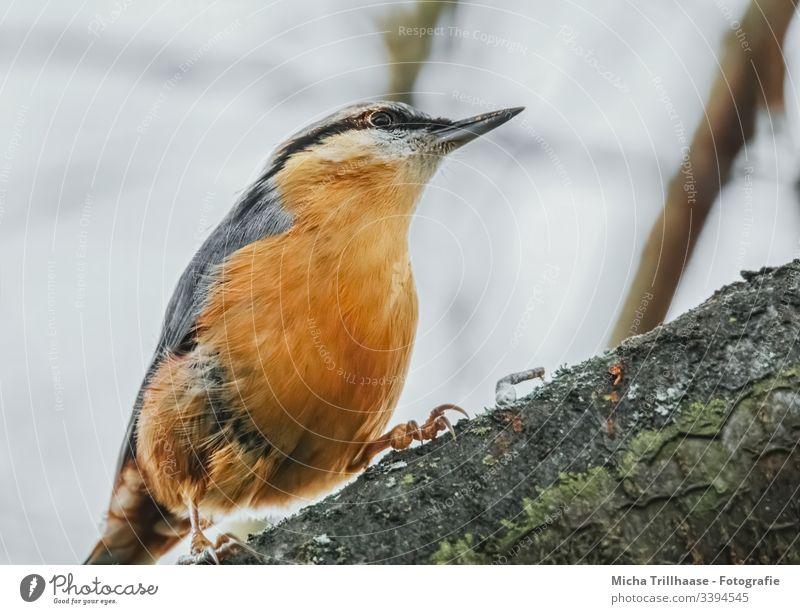 Kleiber auf einem Ast Sitta europaea Vogel Tiergesicht Flügel Krallen Feder gefiedert Auge Schnabel Baum Baumrinde Wildtier beobachten Blick Federn Gefieder