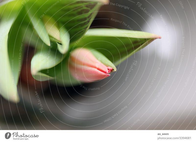 Tulpenblüte Blüte Blume Nahaufnahme Pflanze Frühling Detailaufnahme Natur Farbfoto Blütenblatt Schwache Tiefenschärfe Menschenleer Blühend Tag Unschärfe rosa