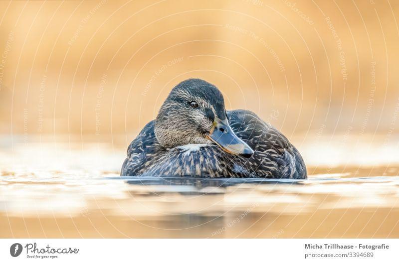 Schwimmende Stockente im Sonnenschein Ente Anas platyrhynchos schwimmen Wasser Vogel Natur Kopf Schnabel Auge Flügel Federn Gefieder See Wellen Abendlicht