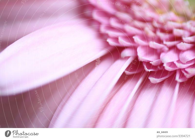 Gerbera Blüte inneres innen Blume Makroaufnahme Nahaufnahme Pflanze Frühling Detailaufnahme Natur Farbfoto Blütenblatt Schwache Tiefenschärfe Menschenleer