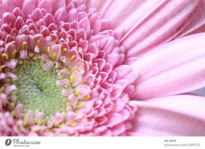 Gerbera Blüte Nabe Blütenstaub inneres innen Zentrum gelb Blume Makroaufnahme Nahaufnahme Pflanze Frühling Detailaufnahme Natur Farbfoto Blütenblatt
