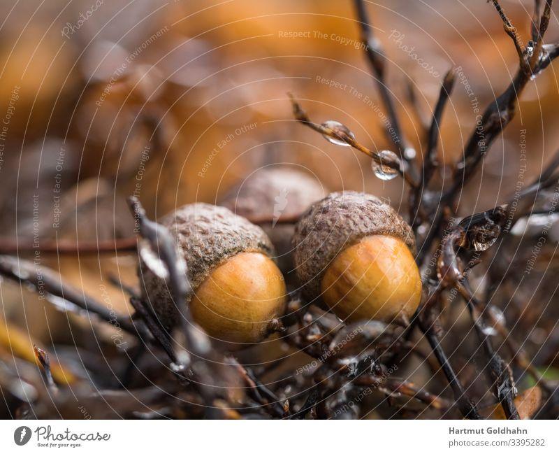 Zwei vom Baum gefallene gelbe Eicheln liegen zwischen mit Tautropfen benetzten kleinen Ästen. baum Frucht Fruchtkörper Früchte herbst Makroaufnahme Natur