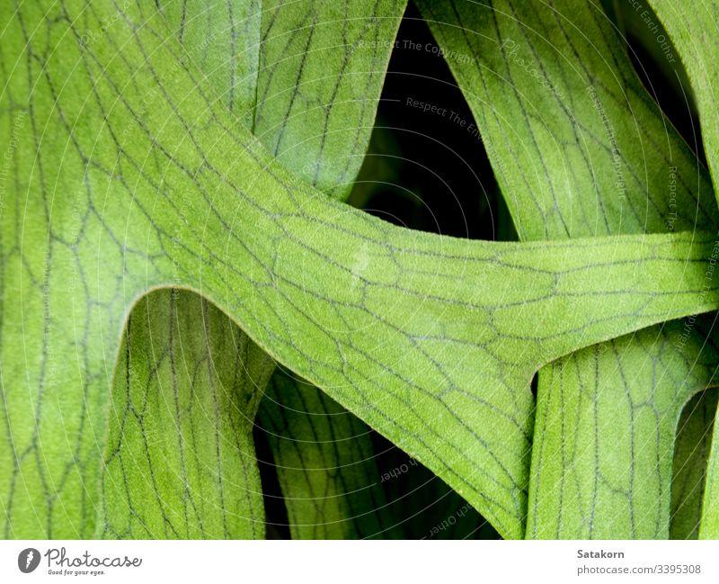 Textur-Detail auf den Blättern des Elchhornfarns , Platycerium coronarium Wurmfarn tropisch Blatt natürlich Pflanze elkhorn Hirschhorn Natur Detailaufnahme