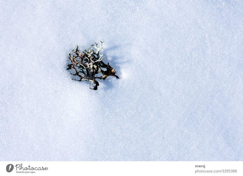 Flechte liegt auf Schnee und wirft einen feinen Schatten Flechten weiß liegen kalt frieren Winter Natur gefroren gebettet kalte jahreszeit Kälte natürlich