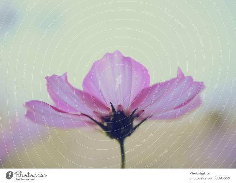 Cosmea - Schmuckkörbchen 1 Umwelt Natur Pflanze Sommer Blume Blüte Totale Garten Blühend Detailaufnahme Menschenleer Außenaufnahme Farbfoto Leben