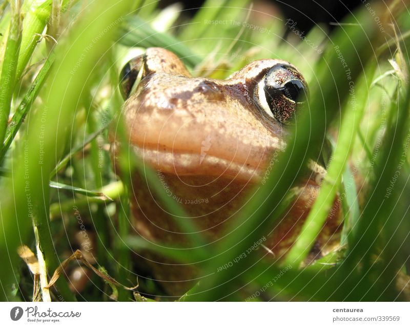 Prinz Quaak Natur Gras Garten Wiese Teich Tier Wildtier Frosch Tiergesicht 1 Brunft Küssen schleimig grün Tierliebe Verliebtheit Neugier Abenteuer entdecken