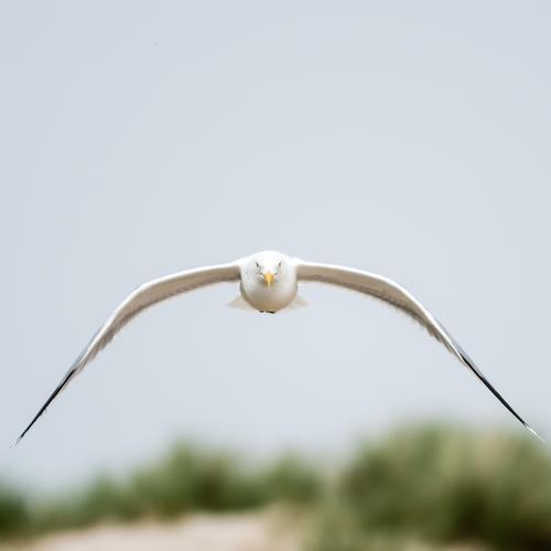 Möwe im Fokus Möwenfliegen Augenkontakt Flügel Vogel Feder Ostsee Dominikanermöwe Leichtigkeit Jagd Mantelmöwe Larus dominikanus elegant ästhetisch Air