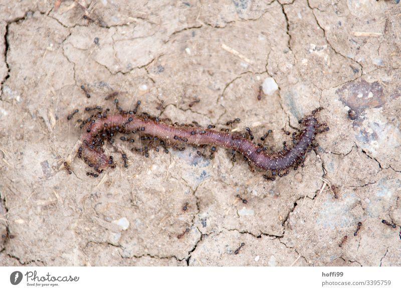 Ameisen fressen einen Regenwurm Ameisenansicht Ameise Insekt Nahaufnahme Beutejagd fressen und gefressen werden Fressen töten töten erlegen Tod Vogelperspektive