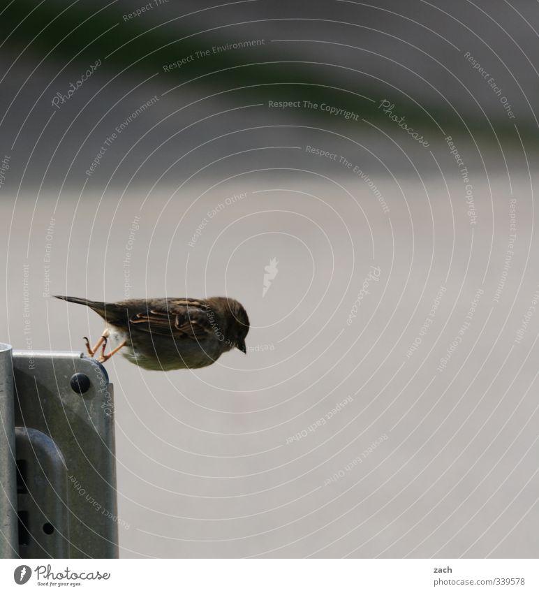 Das wäre doch nicht nötig gewesen | Suicid Tier Vogel Flügel Spatz sperling 1 fliegen springen frech grau Abenteuer Leichtigkeit Natur Gedeckte Farben