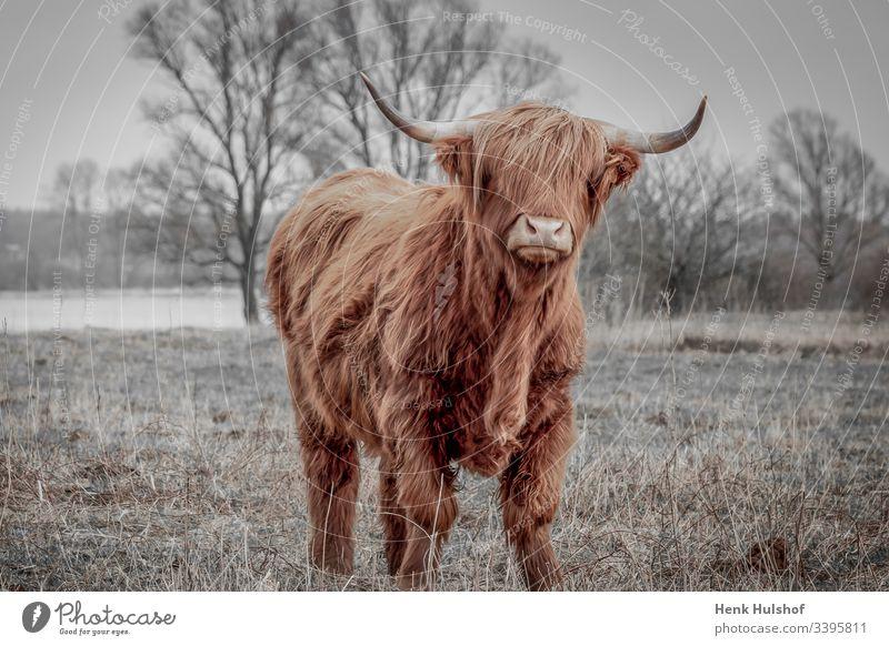 Schottische Hochlandrinder auf dem Feld in der Nähe des Regenflusses IJssel in den Niederlanden Schottischer Hochlandbewohner Kuh Rind Tierwelt Winter braun