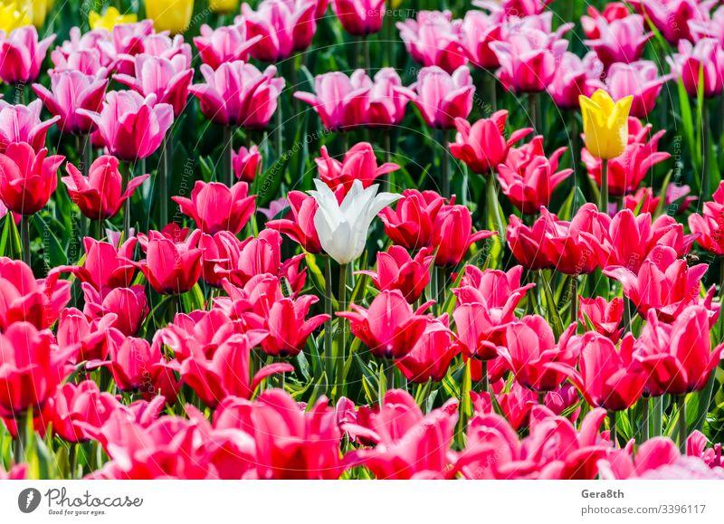 großes blühendes Blumenbeet mit rosa Hybrid-Tulpen holländisch Niederländisch Niederlande allein Blütezeit Blühend bauchig gekreuzt Gartenarbeit wachsen Zwitter