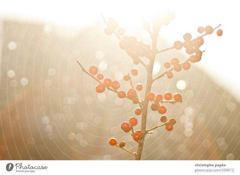 Rote Beerchen Weihnachten & Advent Pflanze Baum Innenarchitektur hell glänzend leuchten Sträucher Dekoration & Verzierung Blühend Beeren Ilex Beerensträucher