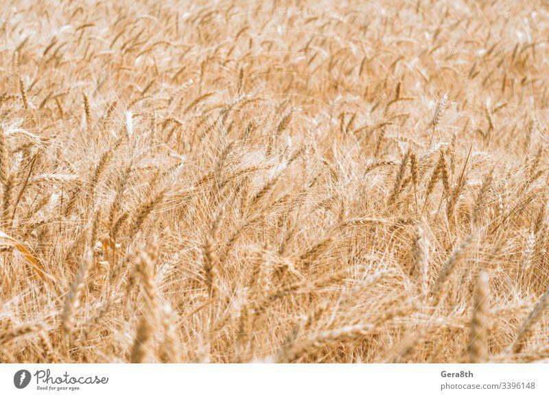 Muster der Weizenähren auf dem Feld agrar landwirtschaftlich Ackerbau Agronomie Hintergrund Klima Farbe Ernte kultivieren Kultur Tag Bauernhof Landwirtschaft