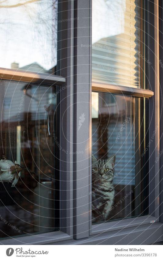 Blick aus dem Fenster Britisch Kurzhaar britisch Kurzhaar Katze Tier Haustier Farbfoto Tierporträt Hauskatze Reflexion & Spiegelung blick nach draussen Neugier