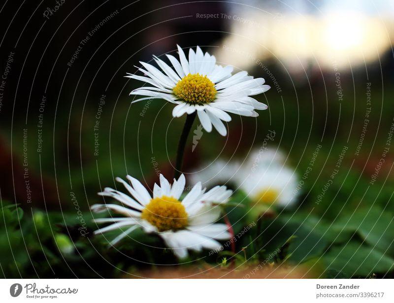 Gänseblümchen auf einer Wiese Blume Frühling Natur weiß Gras Nahaufnahme Rasen Außenaufnahme Garten Farbfoto Blüte Pflanze Blumenwiese Schwache Tiefenschärfe