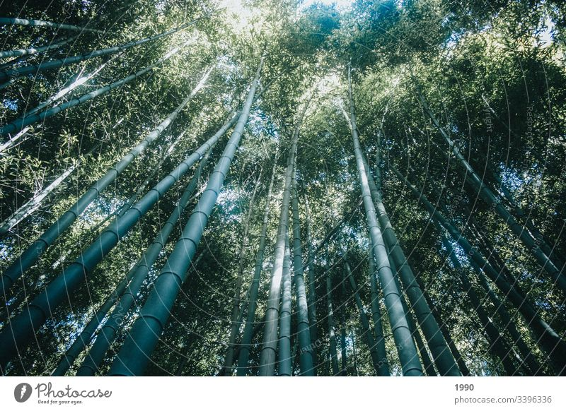 Bambus-Walddächer in Kyoto Bambuswald Bambusrohr Pflanze Wachstum Natur Asien Schatten Japan grün Garten