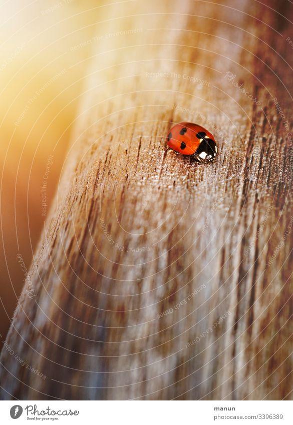 Marienkäfer, krabbelnd  auf dem Holzweg, beschienen von geblichem Licht, was den Eindruck wohliger Sonnenwärme vermittelt und den Gedanken an Glück aufkommen lässt