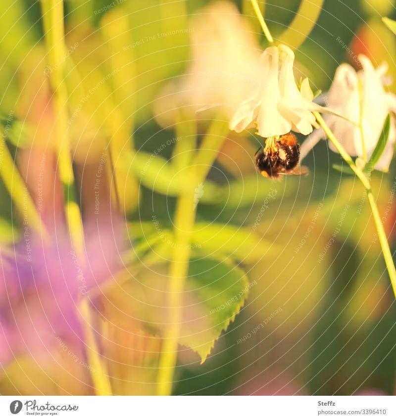 Ein Hummel hängt kopfüber von einer Sommerblume Blume Blüte blühen sommerlich Garten warme Farben Sommergarten sonniger Tag idyllisch Pflanze Unschärfe Insekt