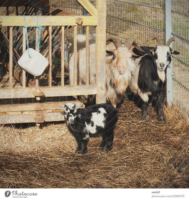 Stolze Eltern Ziegen Vater Mutter Kind neugierig Gatter eingezäunt Familie & Verwandtschaft Gehege Streichelzoo Tiere Tierportrait Fürsorge Verantwortung Zaun