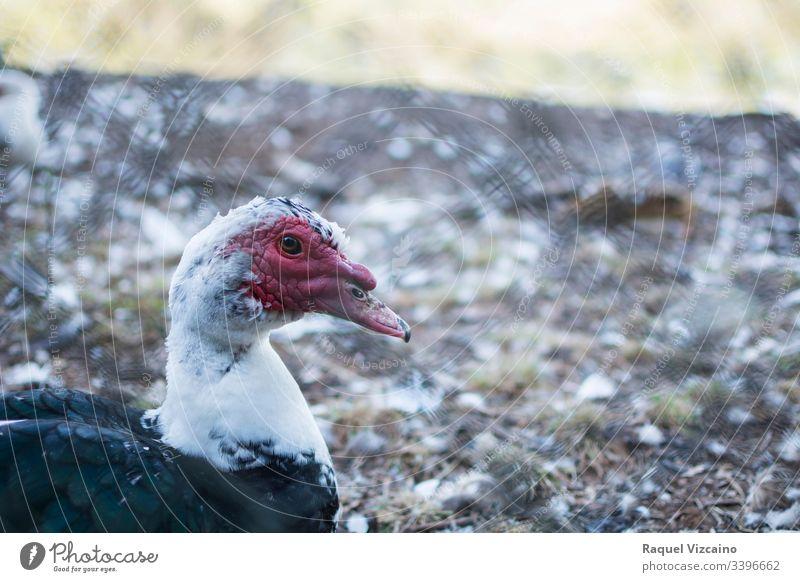 Kopfporträt einer schwarzen Moschus-Ente im Park, auf der anderen Seite des Zauns. Tier Porträt Vogel Natur Hausgans Schnabel Wasser eingesperrt Federn