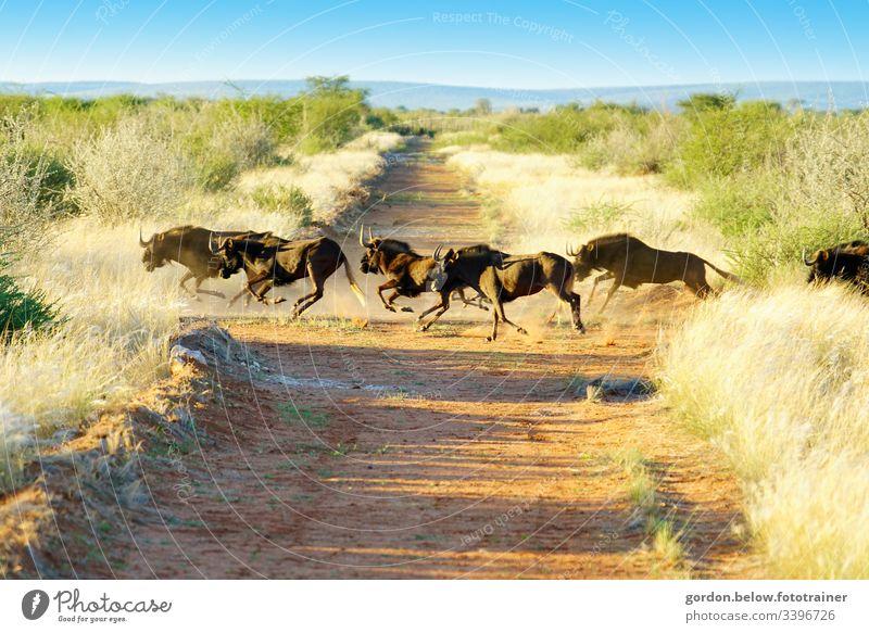 # Namibia Wilde Herde Tageslicht Sommer Querformat Licht Schatten Panoramaaufnahme Farbe Eine Herde wilder Büffel in der Mitte des Bildes karges Grün