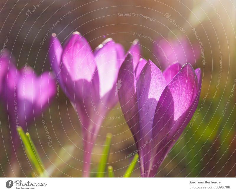 Violetter Krokus in der Stadt Deutschland Air Hintergrund schön Schönheit Blütezeit Überstrahlung Großstadt Nahaufnahme Farbe Krokusse Umwelt Feld Flora geblümt