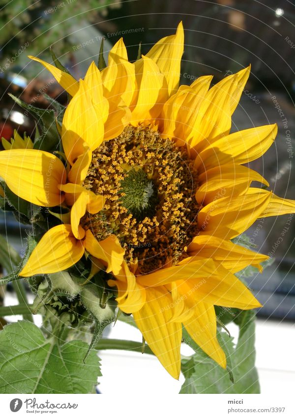 Sonnenblume Blume Sommer Natur