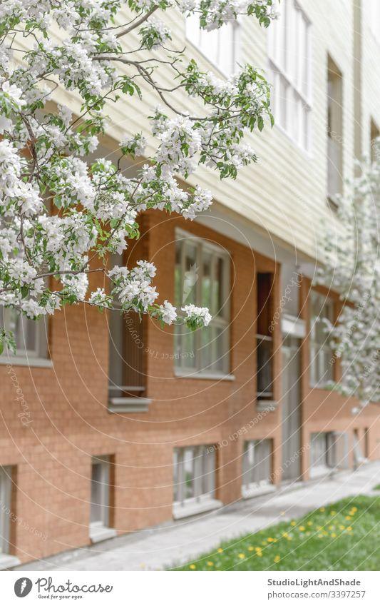 Fassade aus Backsteinbau und blühenden Bäumen Gebäude Haus Fenster Baustein hölzern Kirschbaum Blüte Frühling Blühend Blütezeit Überstrahlung Blumen Baum