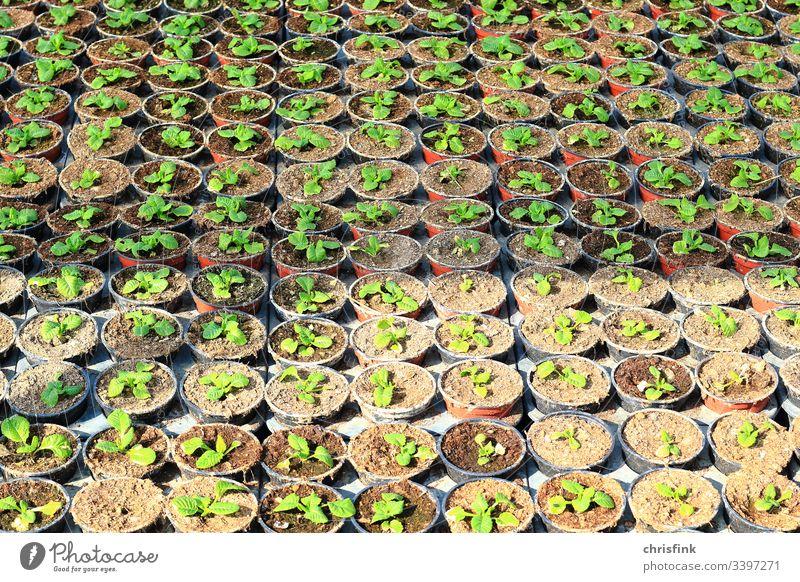 Pflanzen in kleinen Töpfen blume pflanze setzling steckling zucht wachstum gewächshaus landwirtschaft baumschule gärtnerei Forstwirtschaft grün nahrung umwelt