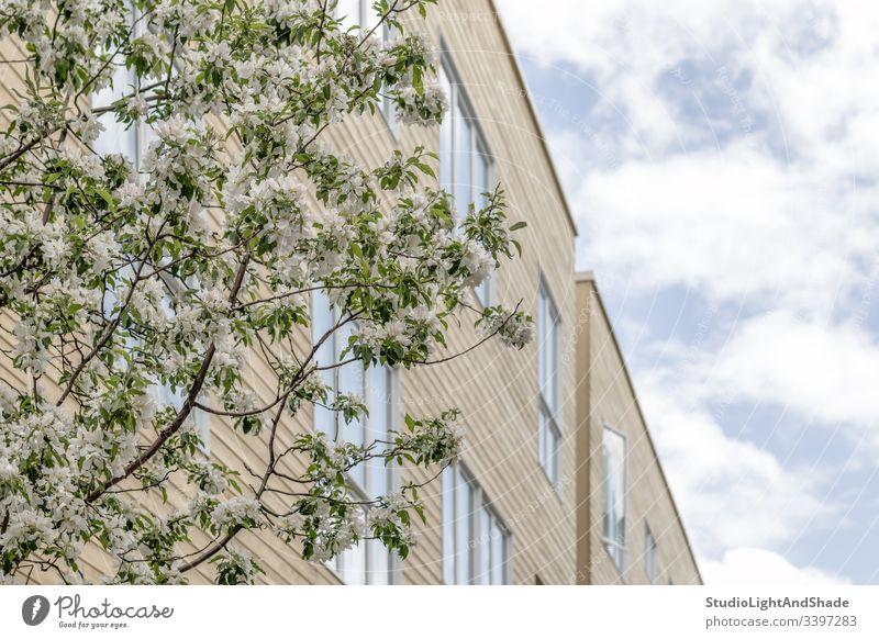 Blühender Baum und blauer Himmel, der sich in den Fenstern spiegelt Gebäude Haus Fassade Bäume Wolken reflektierend Blüte Frühling Ast Niederlassungen Blütezeit