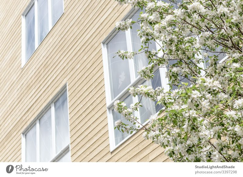 Blühender Baum und Fenster eines modernen Gebäudes Haus Fassade Bäume Blüte Frühling Ast Niederlassungen Blütezeit Überstrahlung Blumen Kirschbaum Apfelbaum