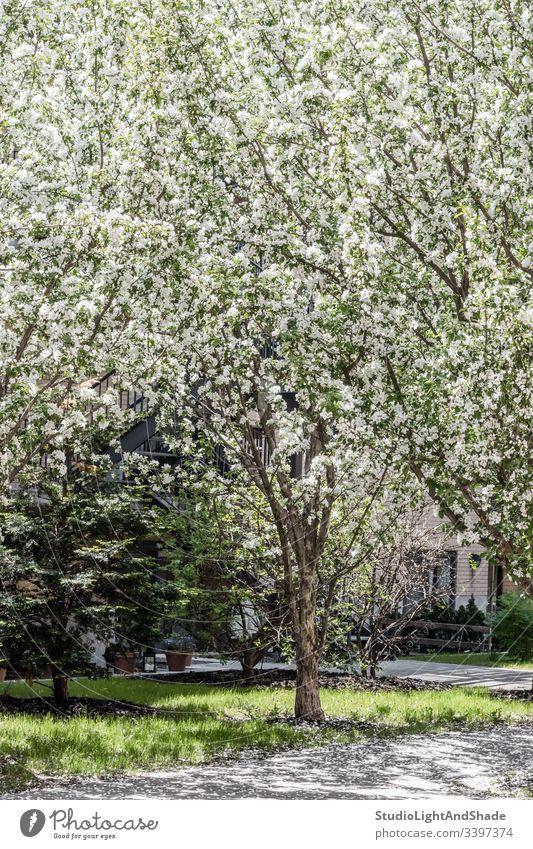 Weiß blühender Baum, der auf der Terrasse wächst Bäume Blüte Frühling Garten Gartenarbeit Orchidee Ast Niederlassungen Blühend Blütezeit Überstrahlung Blumen