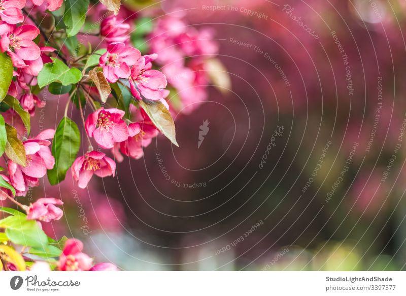 Zartrosa Apfelbaumblüte Blumen Blütezeit Blütenblätter Überstrahlung Ast Niederlassungen Zweig Zweige Garten Orchidee Frühling verschwommen Hintergrund schön
