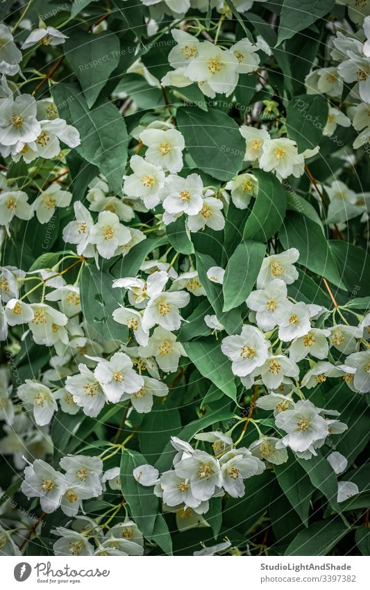 Hintergrund mit weißen Jasminblüten Blumen Blütenblätter Frühling Blätter Blühend Blütezeit Überstrahlung Kanada Kanadier urban gelb grün Laubwerk Garten