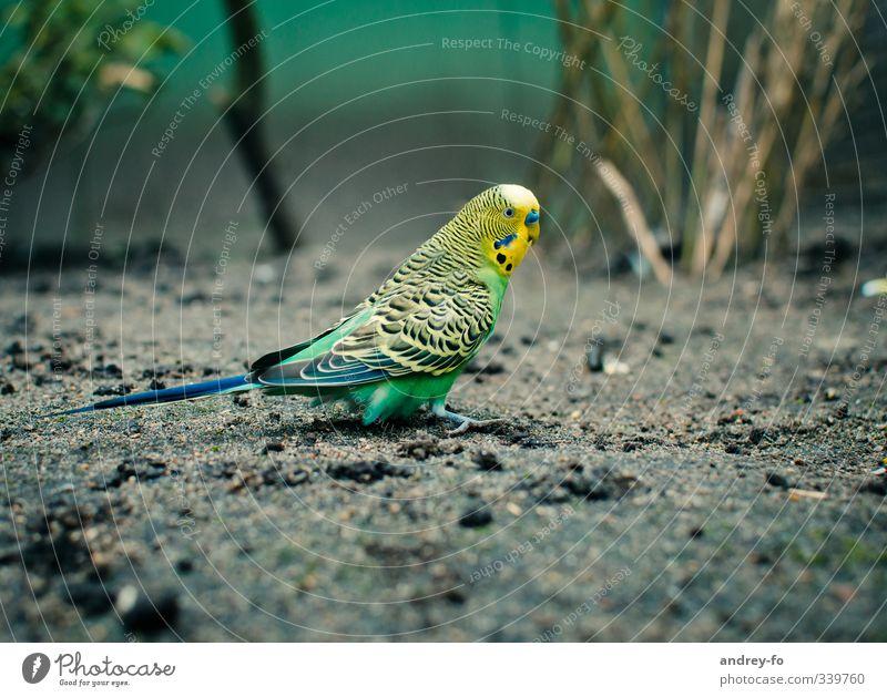 Wellensittich. Natur grün Tier Umwelt gelb klein Vogel Erde Wildtier niedlich Zoo Umweltschutz Tierliebe Papageienvogel Tierschutz