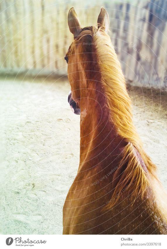 Blick auf Kopf und Hals eines fuchsfarbenen Pferdes von oben in einem Roundpen pferd roundpen halle reithalle indoorarena stute Fuchs angloaraber Tier