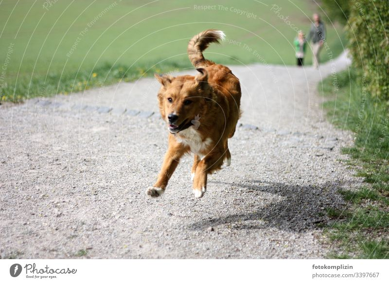 Hund in Bewegung Gassi gehen Haustier springen rennender Hund Spaziergang