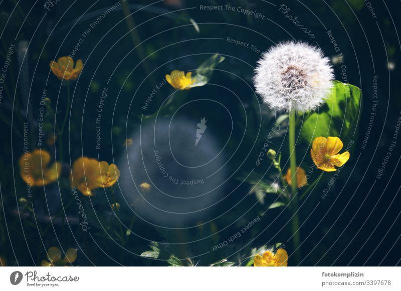 löwenzahn pusteblume Pusteblume butterblume Löwenzahn Löwenzahnfeld Frühling samenstand wiesenkräuter Wiesenblume Sommerblume Nahaufnahme Löwenzahnsamen