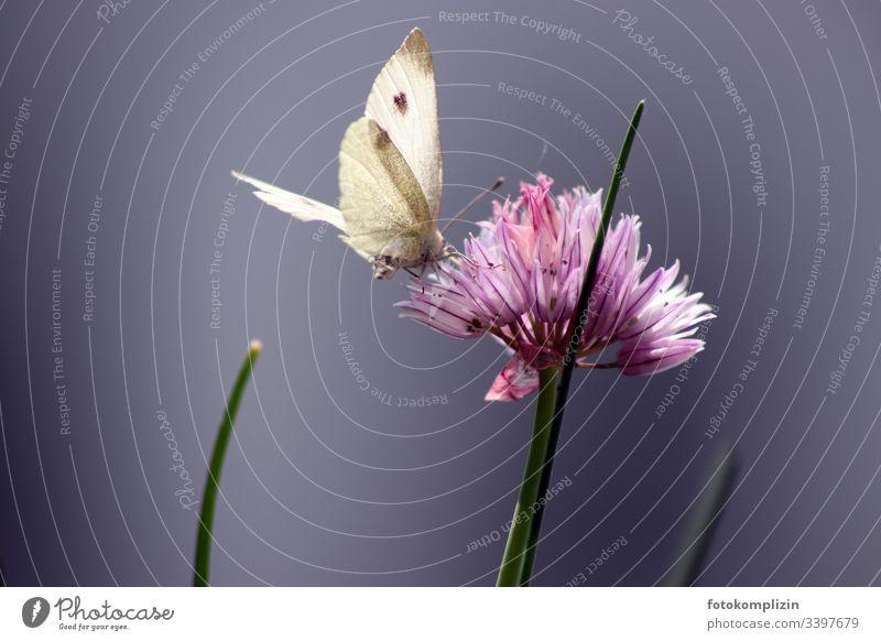 schmetterling an schnittlauch blüte Schmetterling Schmetterlingsblütler Schnittlauch schnittlauchblüte Blüte Außenaufnahme Schwache Tiefenschärfe Pflanze Garten