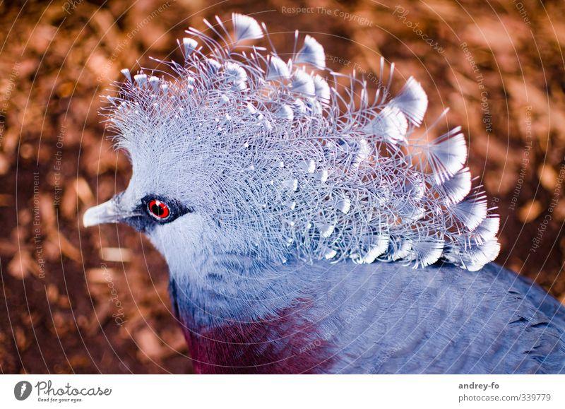 Exotische Taube Natur blau schön rot Tier Umwelt Auge träumen braun außergewöhnlich Vogel Wildtier elegant Feder einzigartig fantastisch