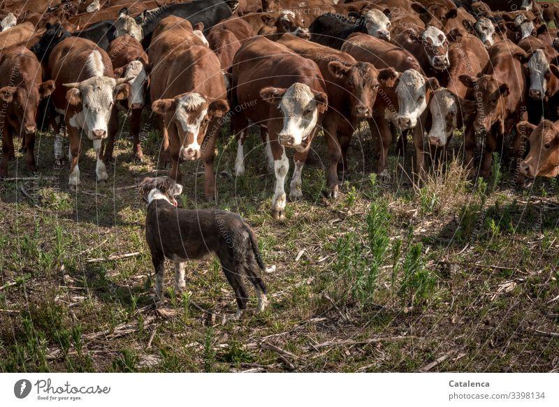 Ein Hund hält Rinder davon ab auszubrechen Pampa Nutztier Herde Tier braun grün Außenaufnahme Starke Tiefenschärfe Tierporträt schauend Kühe Rinderhaltung