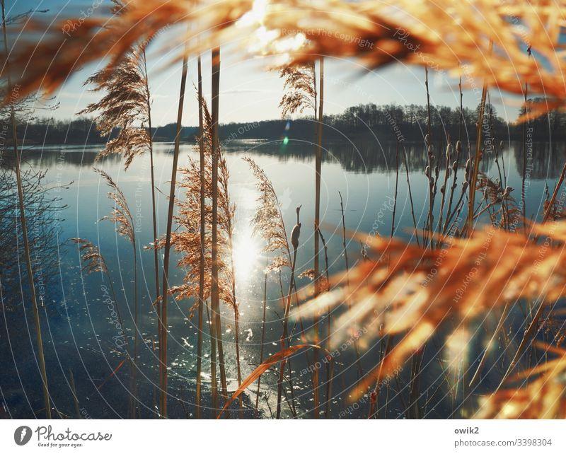 Durch den Röhricht See Ufer Wasser Wasseroberfläche wolkenloser Himmel windstill Pflanze Büschel Halme Horizont Sonne Sonnenlicht Gegenlicht