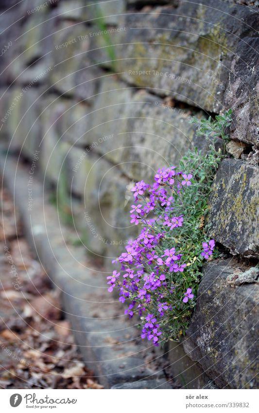 Mauerblümchen schön Pflanze Blume Tier Umwelt Traurigkeit Frühling Mauer Blüte außergewöhnlich Fröhlichkeit Lebensfreude Trauer violett Sehnsucht Ausdauer