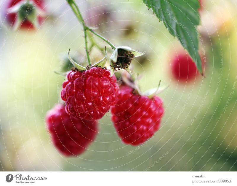 fruchtig süß Lebensmittel Frucht Ernährung Essen Natur Pflanze Sträucher Garten Himbeeren lecker geschmackvoll Unschärfe Schwache Tiefenschärfe Farbfoto