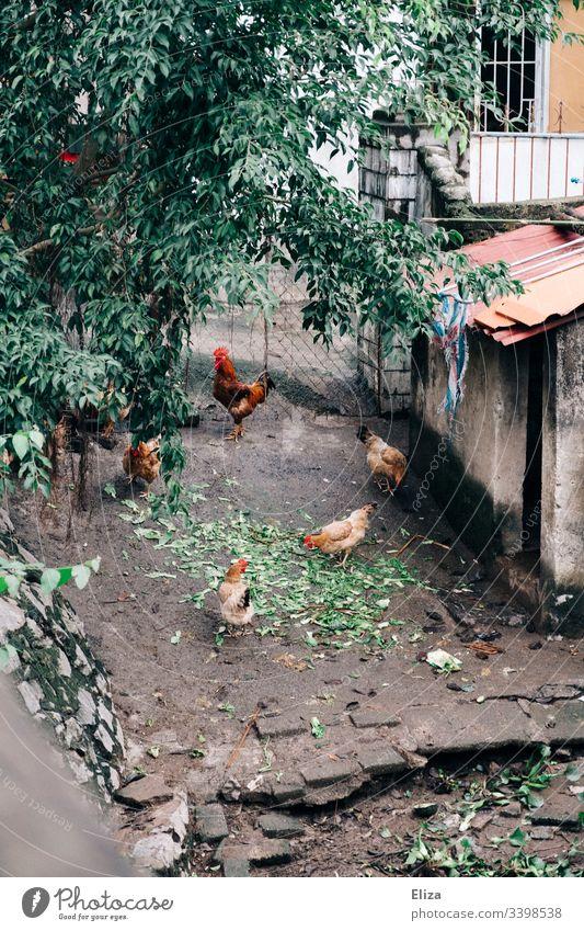 Hühner die in einem Hof frei herum laufen Hahn Hähne Bauernhof bio freilandhaltung Natur Hinterhof Asien Südostasien fressen picken Futter Vogel Haushuhn