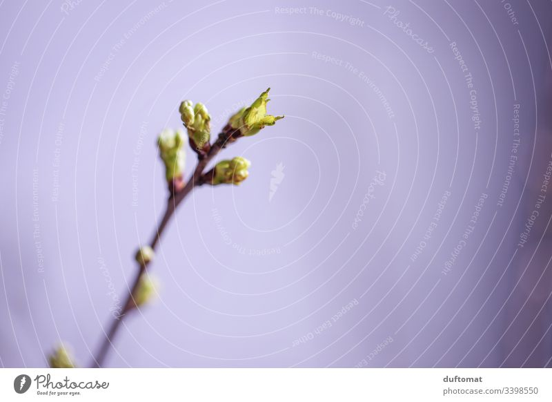 Zweig mit Blütenknospen, Apfelzweig, Astblätter Apfelblüte Natur Knospe austreiben blühen Frühling Pflanze Blume Garten Nahaufnahme Wachstum Blühend Baum