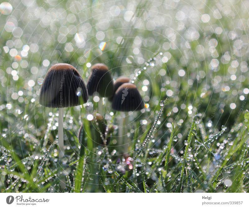 Untermieter | ...im Zierrasen Umwelt Natur Pflanze Wassertropfen Herbst Gras Grünpflanze Pilz Garten glänzend stehen Wachstum ästhetisch außergewöhnlich schön