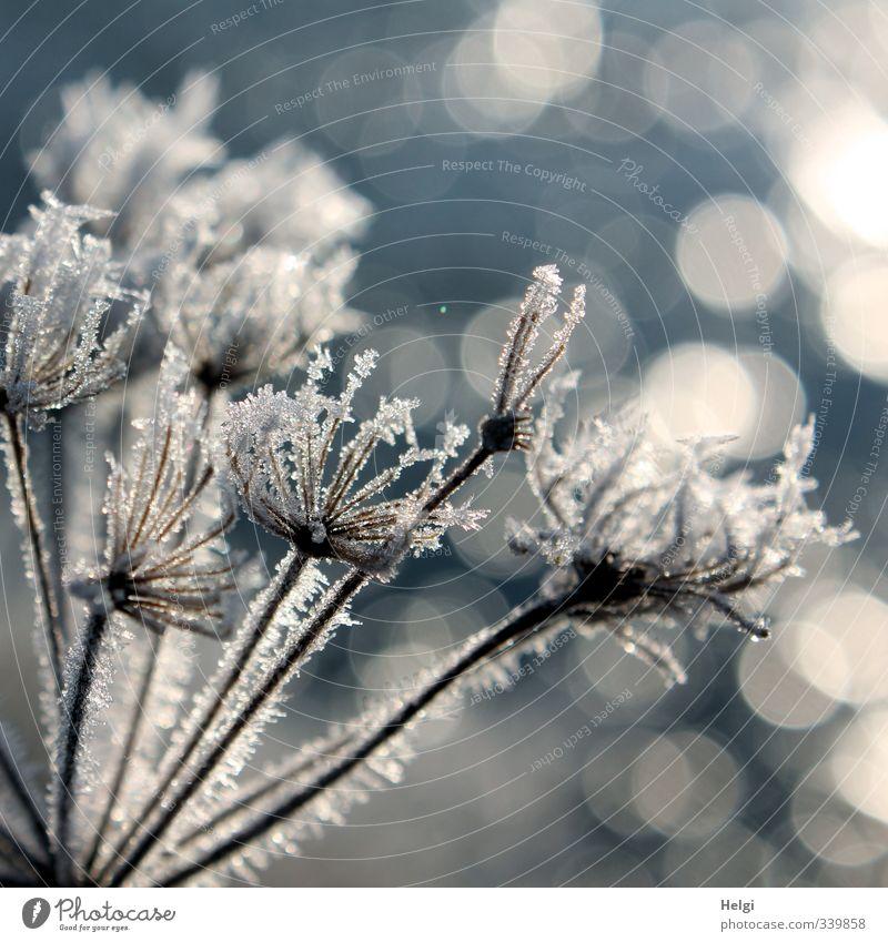 das wär doch nicht nötig gewesen... Natur blau schön weiß Pflanze Winter Umwelt kalt grau natürlich Stimmung außergewöhnlich Eis leuchten stehen ästhetisch