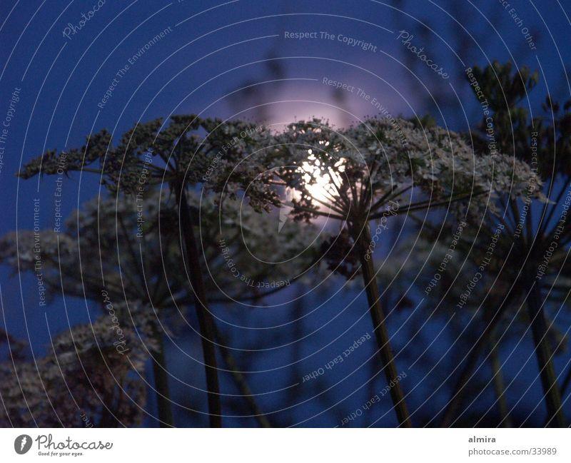 Sommernacht Blume blau ruhig Lampe dunkel träumen glänzend Frieden geheimnisvoll Vollmond